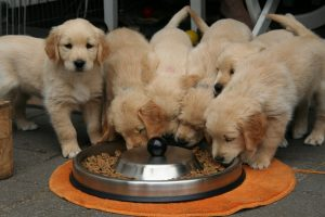 Puppies eating protein